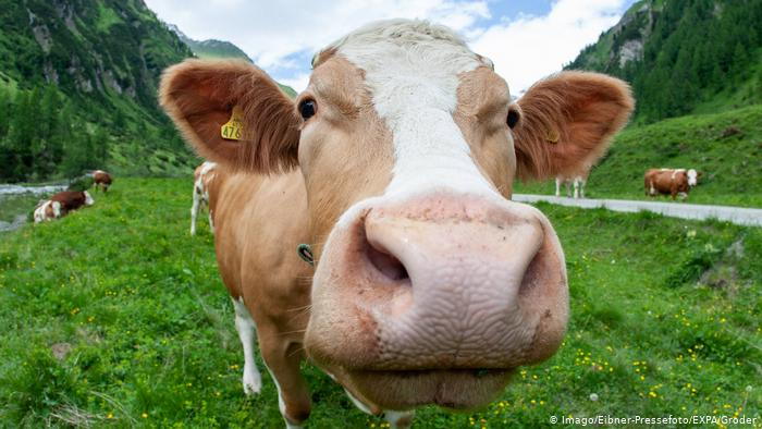 Why We Should Avoid Cows Milk asAdults.